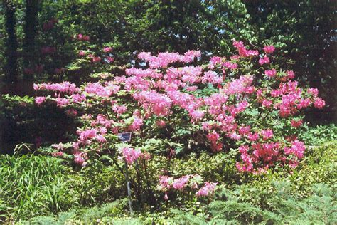 Northern Lights Azalea by Northern Lights Azalea Rhododendron Northern Lights In
