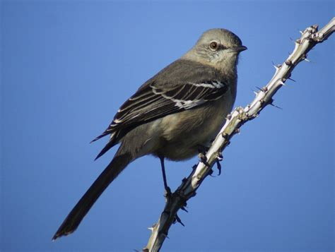 state birds tennessee state bird name www imgkid com the image kid