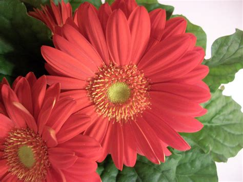 gerber daisies writing straight from the heart gerbera daisy
