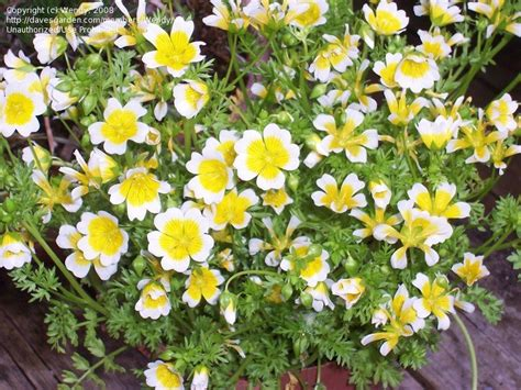 plantfiles pictures meadow foam poached egg plant fried