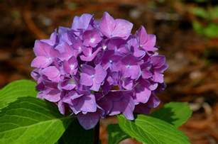 change color of hydrangea learn to change the color of your hydrangeas