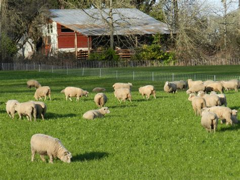 Sheep At Wattenpaugh Farm Farmland Lpfarmland Lp