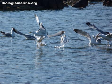 gabbiano reale mediterraneo gabbiano reale 36 biologia marina mediterraneo