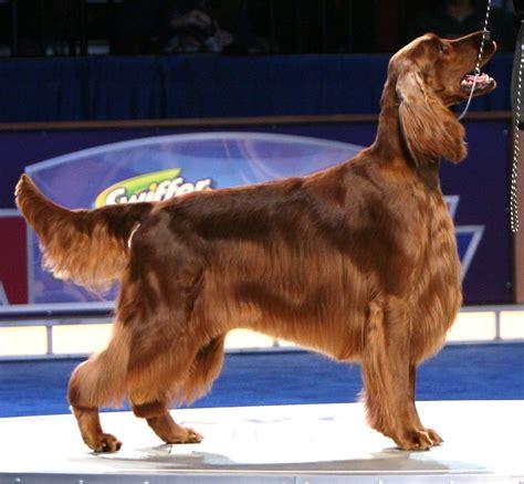 Irish Setter Dog Grooming | ch shadagee caught red handed irish setter dog breeds
