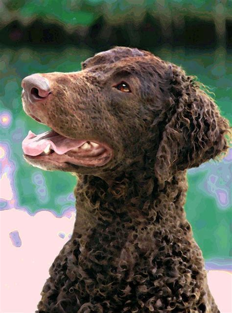 104 best images about Curly Coated Retriever on Pinterest ...