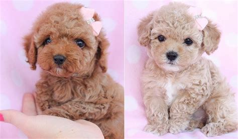 poodle puppies price teacup poodle price range mini standard poodle puppies price