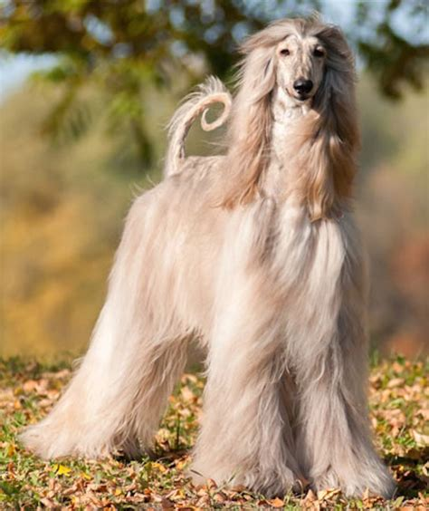 afghan breed the afghan hound the dogs breeds breeds picture