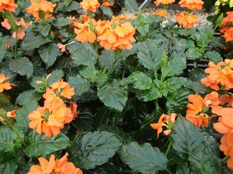 photo of the entire plant of firecracker plant crossandra