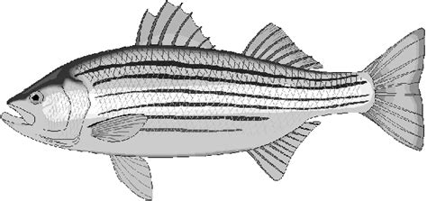 coloring pages rockfish free fish coloring pages clipart 1 page of public domain