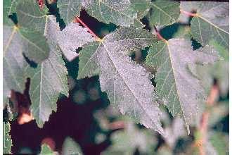 maple tree usda plants profile for acer ginnala amur maple