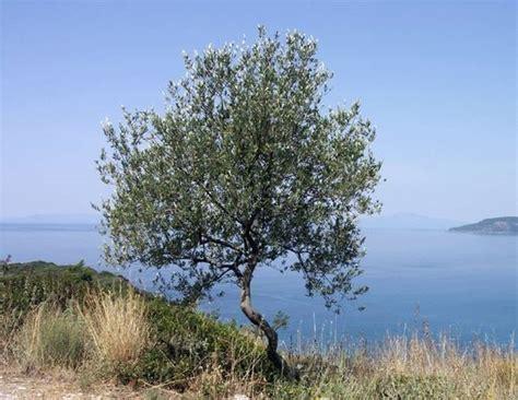 ulivo giardino ulivo o olivo alberi ulivo o olivo