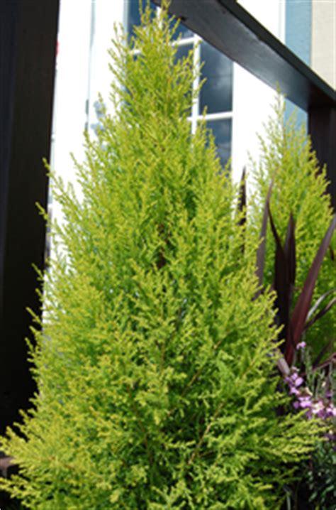 cupressus macrocarpa 'wilma goldcrest' sloat garden center