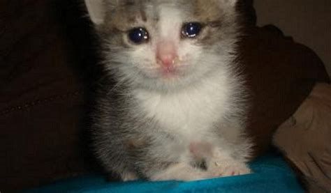 Crying Cat Meme - crying cat related keywords suggestions crying cat