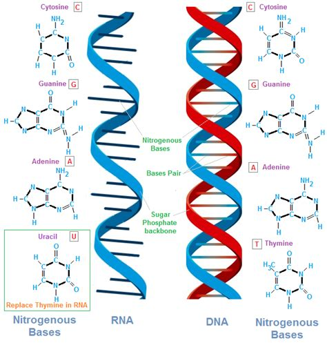 nucleic acids an everyday use would be in dna and rna it