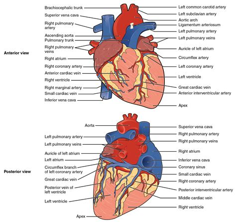 section 37 1 the circulatory system human heart anatomy physiology human anatomy chart