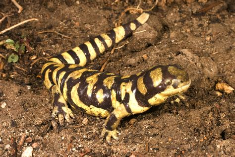 tiger salamanders the life of animals