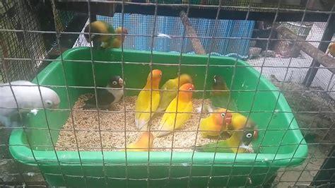 Tempat Makan Burung Koloni kandang koloni lovebird makan besar judulnya