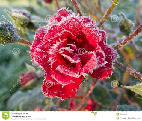 rosa mistica fiore rosse coperte di brina fotografia stock immagine