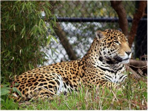 difference between jaguar leopard and panther the difference between leopards panthers pumas jaguars