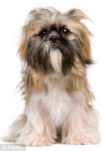 shih tzu ottawa canadian needs plastic surgery after she has nose bitten 191 by a shih tzu