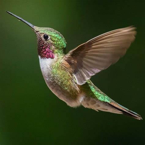 25 best ideas about hummingbirds on pinterest humming