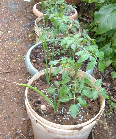 pomodoro coltivazione in vaso coltivare pomodori in vaso quali le dimensioni minime