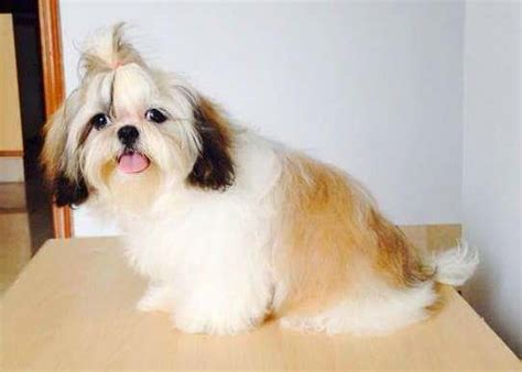 puppy cut with ponytail beyond the puppy cut shih tzu hair styles iheartdogs com