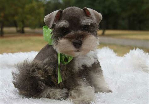 teacup puppies for sale in oklahoma pin by nonna on schnauzers
