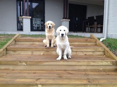 golden retriever puppies for sale nsw golden retriever puppies for sale find me a pet