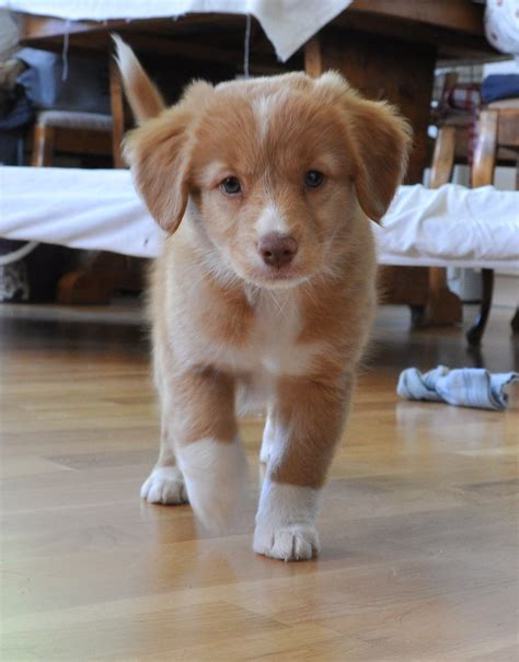 scotia duck tolling retriever puppies scotia duck tolling retriever dogs photo 37018365 fanpop