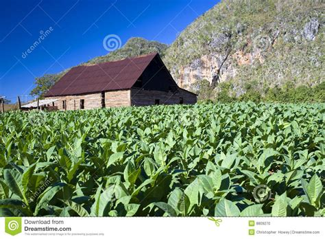 tobacco house tobacco drying house vinales cuba stock photo image 8809270