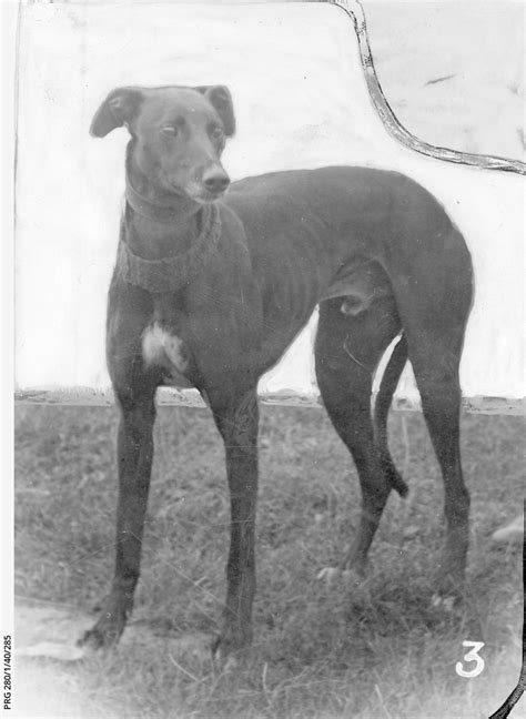 A champion greyhound • Photograph • State Library of South