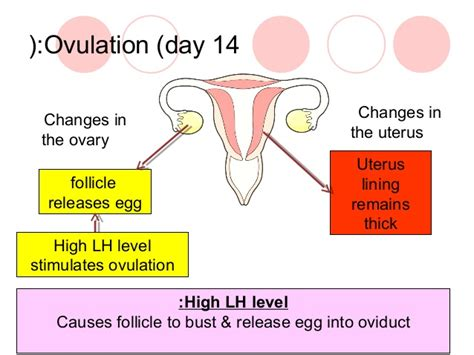 Mood Swings After Ovulation 28 Images Menstrual Cycle