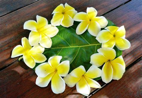 fiori polinesiani foto gratis plumeria flor polinesia imagen gratis en