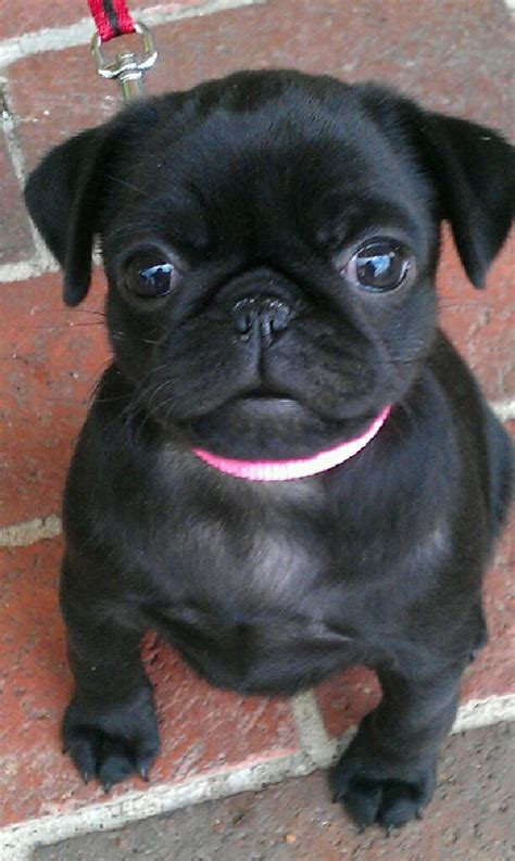 pug checks 25 best ideas about black pug on black pug puppies baby black pug and