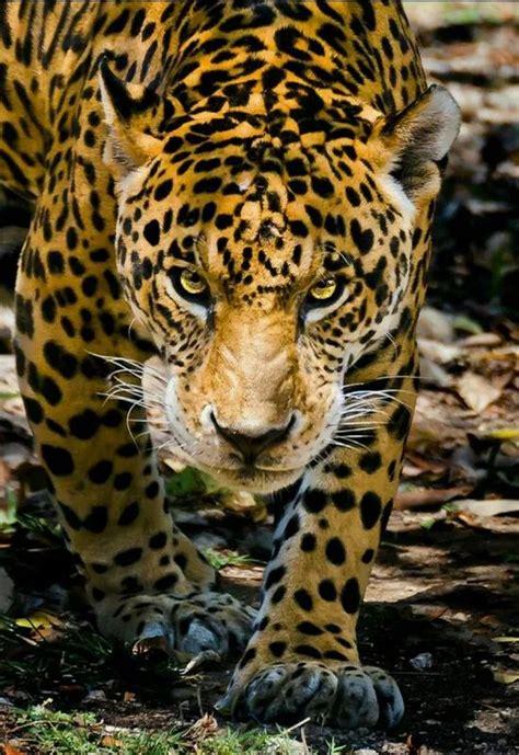 imagenes jaguar you foto i love animal grandes felinos incluye a las