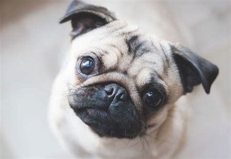 pugs that don t shed top 5 breeds for city living