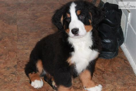 bernese mountain puppies missouri bernese mountain for sale for 800 near kirksville missouri 8b9f27cd 3f11