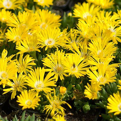 stauden gelb winterhart naturagart shop stauden mittagsblume gelb kaufen
