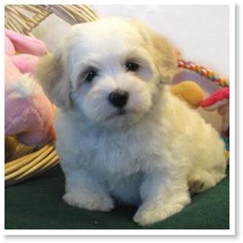 colored havanese the of havanese colors by cornerstone