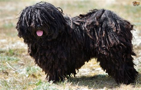 puli puppies hungarian puli breed information facts photos care pets4homes