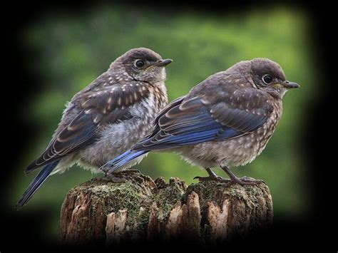 baby bluebirds pixdaus