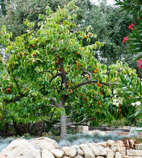 japanese fruit tree persimmon