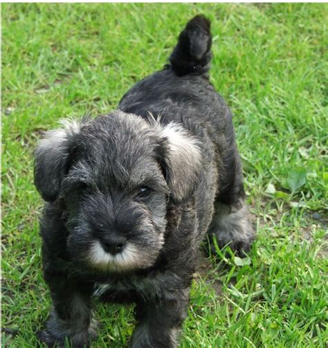 schnauzer dogs for sale stunning miniature schnauzer puppies for sale welshpool powys pets4homes