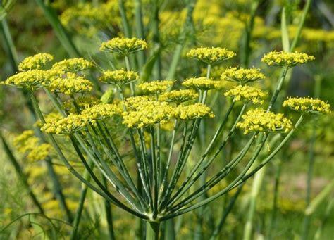 Minyak Adas daftar tanaman obat lengkap beserta gambar dan khasiatnya
