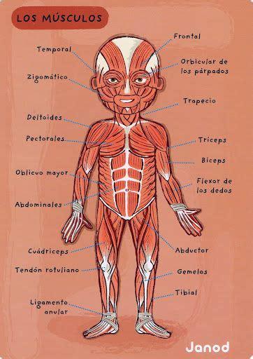 anatoma para posturas de 8415053150 las 25 mejores ideas sobre musculos del cuerpo en anatom 237 a del esqueleto humano