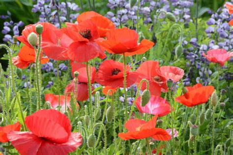 growing colorful poppies in the garden mountainlily farm