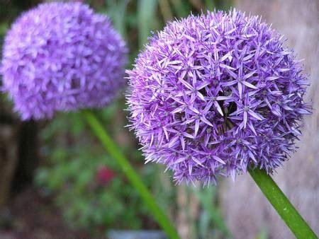 fiori con bulbo 10 bulbi da piantare in autunno acateringveg