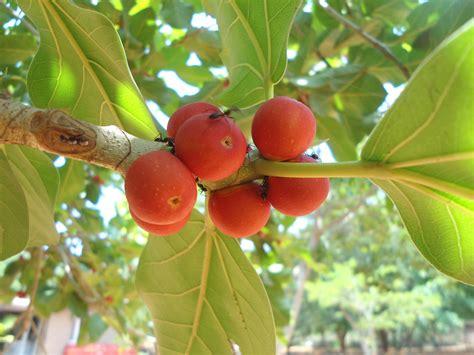 fruit of the tree 15 health benefits of banyan tree