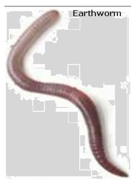 earthworm parts images earthworms regeneration vancleave s science